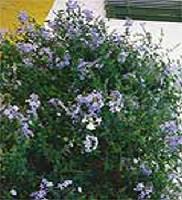 A kertben laza, terebélyes bokor fejlődik az ólomvirágból