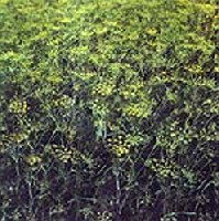 �desk�m�ny (Foeniculum vulgare)