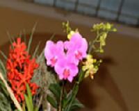 A Phalaenopsis szobai nevel�se nem megoldhatatlan.