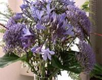 Cérnakürt és szerelemvirág (Agapanthus)