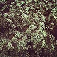 Illatos �nizs (Pimpinella anisum)