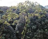 Haz�juk D�lkelet-�zsia. T�bbs�g�k epifita �letm�d�, gy�kereivel a f�k lombkoronaszintj�ben megtapad a fa k�rg�n.