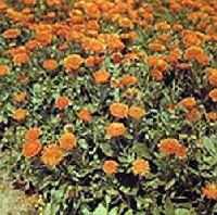 K�r�mvir�g (Calendula officinalis)