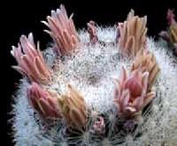 H�labda szem�lcskaktusz (Mammillaria candida)