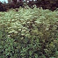 Macskagy�k�r (Valeriana officinalis)