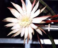 �jkir�lyn�kaktusz (Selenicereus grandiflorus)