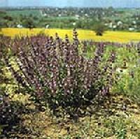 Orvosi zs�ja (Salvia Officinalis)