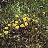 Pongyola pitypang vagy gyermekl�ncf� (Taraxacum officinale)