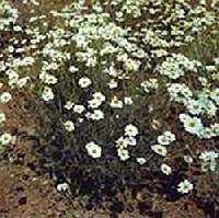 Dalm�t rovar�l� vir�g Chrysanthenium cinerariafolium)